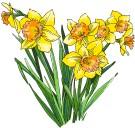 daffodils_3653c